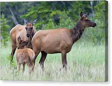 Rocky Mountain Elk Cow With Calf Canvas Print