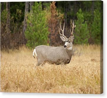 Rocky Mountain Mule Deer Buck Canvas Print