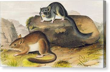 Rocky Mountain Neotoma Canvas Print by John James Audubon