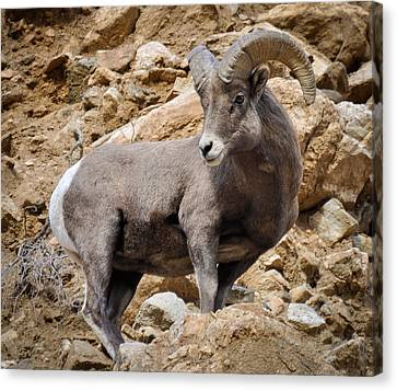 Canvas Print featuring the photograph Rocky Ram by Kevin Munro