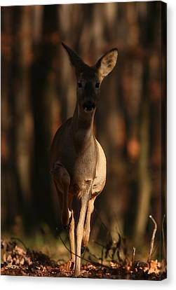 Roe Deer Female Canvas Print by Dragomir Felix-bogdan