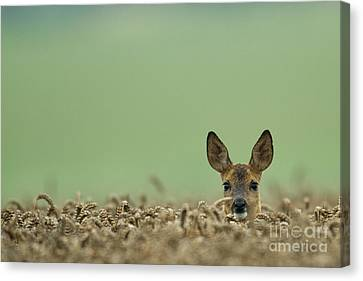 Roe Deer In A Field Canvas Print