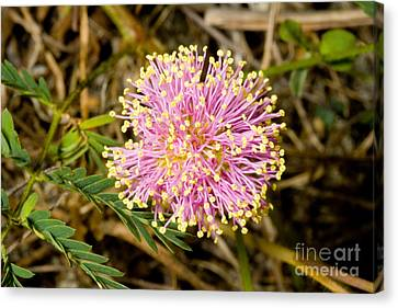 Roemers Mimosa Mimosa Roemeriana Canvas Print by Gregory G. Dimijian