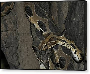 Romance Of Snakes Canvas Print by Bliss Of Art