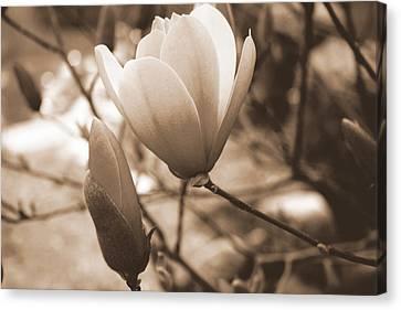 Romantic Vintage Magnolia Canvas Print by Kay Novy