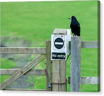Canvas Print featuring the photograph Rook On Guard by Avian Resources