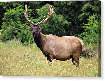 Roosevelt Elk Canvas Print