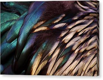 Rooster Feathers Canvas Print by Paulette Thomas
