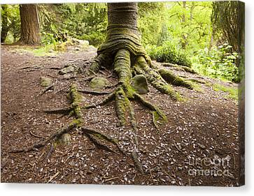 Roots Of Monkey Puzzle Tree Canvas Print by Colin and Linda McKie