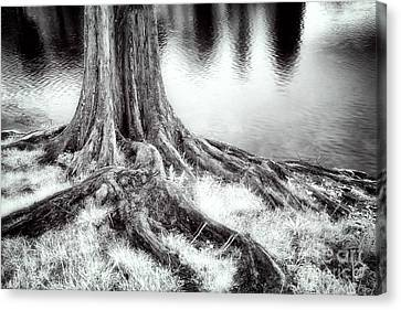 Tree Roots Canvas Print - Roots Run Deep - Greensboro Nc by Dan Carmichael