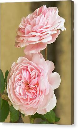 Rosa 'a Shropshire Lad' Canvas Print by Adrian Thomas