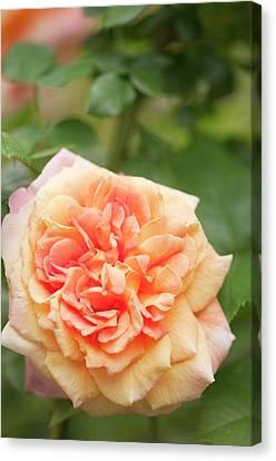 Rosa 'alchymist' Flower Canvas Print