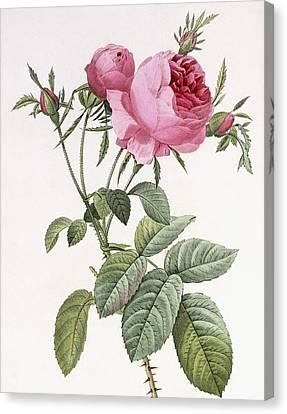 Rosa Centifolia Foliacea Canvas Print by Pierre Joseph Redoute
