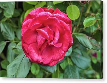 Rosa Danse De Sylphes Canvas Print