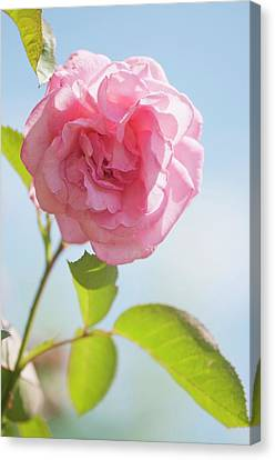 Rosa 'eliza' Flower Canvas Print by Maria Mosolova