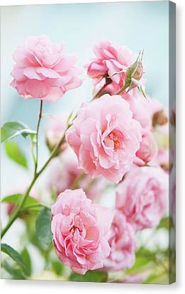 Rosa 'eliza' Flowers Canvas Print by Maria Mosolova