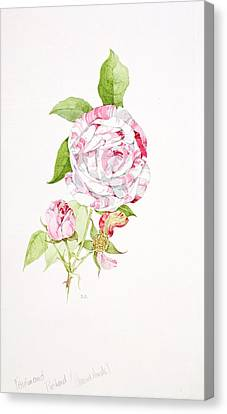 Rosa Ferdinand Pichard Canvas Print by Sarah Creswell