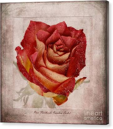 Rosa Floribunda Rainbow Sorbet Canvas Print