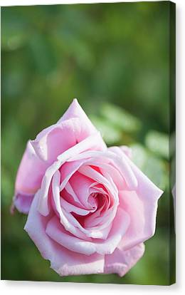 Rosa 'frederic Mistral' Flower Canvas Print by Maria Mosolova