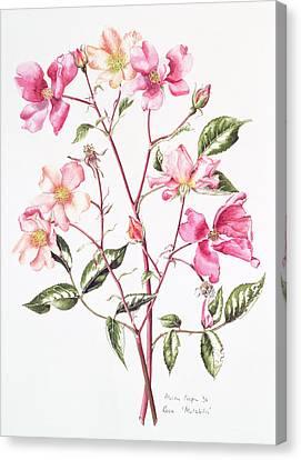 Rosa Mutabilis Canvas Print by Alison Cooper