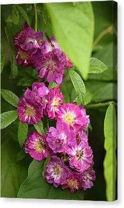 Rosa 'perennial Blue' Flowers Canvas Print