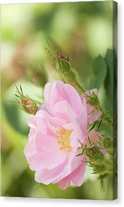Rosa Pomifera'duplex' Flower Canvas Print