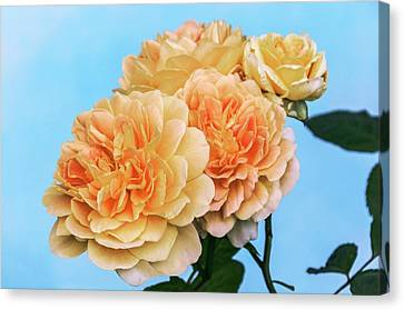 Rosa (rosa 'charlotte') Canvas Print by Brian Gadsby