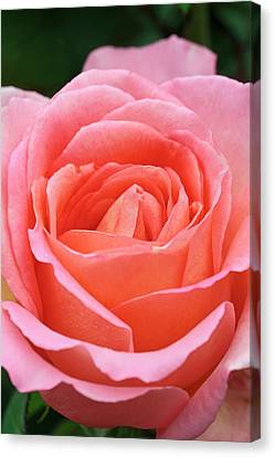 Rosa 'the Whitgift Rose' Canvas Print by Geoff Kidd