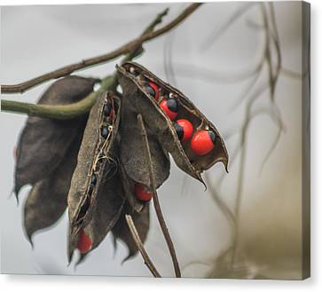 Rosary Pea Canvas Print