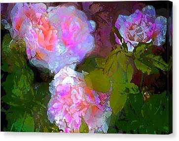 Rose 184 Canvas Print by Pamela Cooper