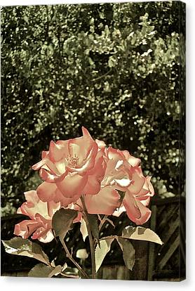 Rose 55 Canvas Print by Pamela Cooper