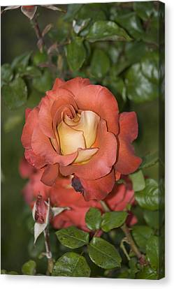 Rose 6 Canvas Print by Andy Shomock