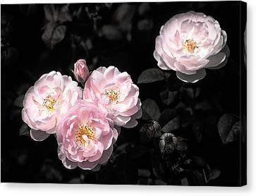Rose 6 Canvas Print