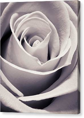 Rose Canvas Print by Adam Romanowicz