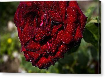 Rose And Dew Canvas Print by Vishal Kumar