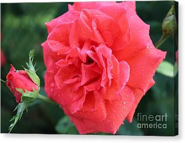 Rose And Rose Bud Canvas Print by Judy Palkimas