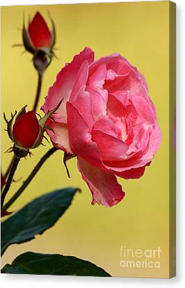 Florida Flowers Canvas Print - Rose And Rose Buds by Sabrina L Ryan