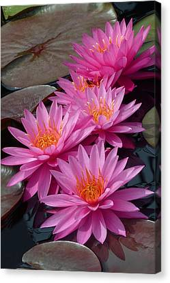 Rose Arey Canvas Print