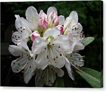 Rose Bay Rhododendron Canvas Print by William Tanneberger