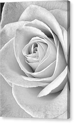 Rose Black And White Canvas Print by Edward Fielding