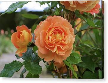Rose Bowled Over (rosa 'tandolgnil') Canvas Print