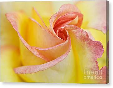 Rose Bud Opening Canvas Print