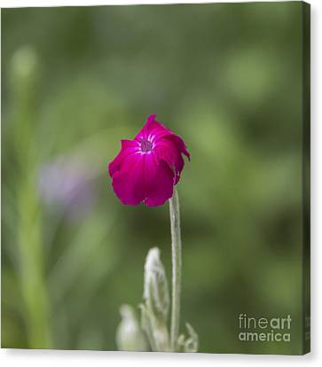 Spring Canvas Print - Rose Campion Squared by Teresa Mucha