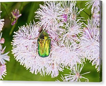 Rose Chafer On Meadow-rue Flowers Canvas Print by Bob Gibbons