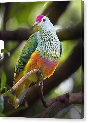 New Individuals Canvas Print - Rose-crowned Fruit-dove Australia by Martin Willis