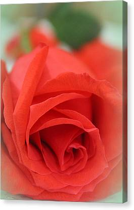 Rose D' Amour Canvas Print by The Art Of Marilyn Ridoutt-Greene