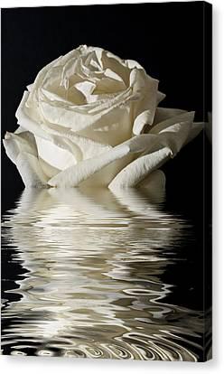 Rose Flood Canvas Print by Steve Purnell
