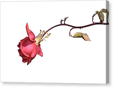 Rose For Isabel Canvas Print by Goyo Ambrosio