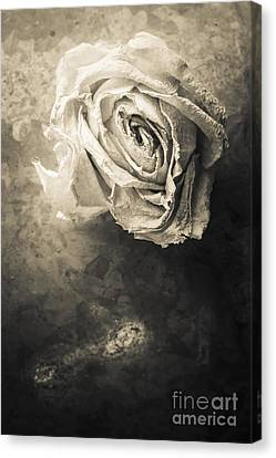 Rose From Another Day Canvas Print