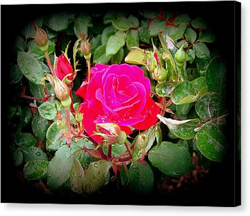 Rose Garden Centerpiece Canvas Print by Pamela Hyde Wilson